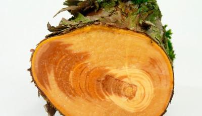 Срез ствола сибирской лиственницы